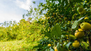 フルオーガニックレモン農園